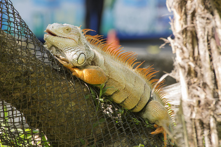 Close up Iguana standing on the wood photo
