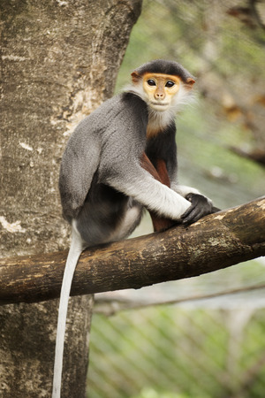 Close up Red-shanked douc langur on the tree photo