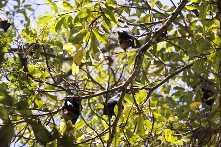 pteropus: Group of flying foxes hang on a tree in Thailand