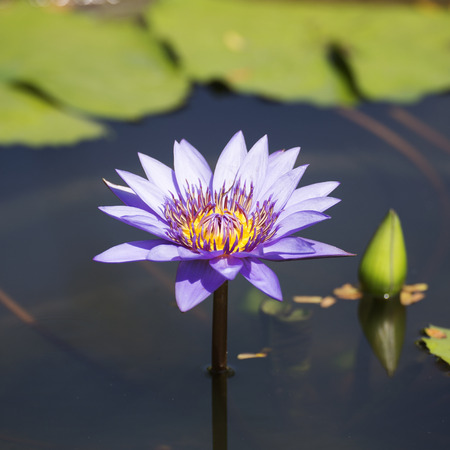 waterlilly: Purple waterlilly or lotus on the pond