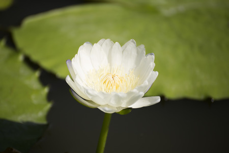 waterlilly: White waterlilly or lotus on the pond