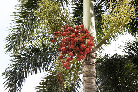 kimri: Closeup of red dates clusters of Palm tree Stock Photo