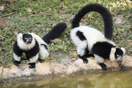 jungle animal: Two Black and white ruffed lemur near the ponds