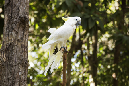 an feather: White Cockatoo  Sulphur-crested Cockatoostanding on a branch