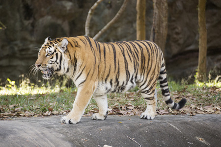 Bengal tiger walking in the zoo