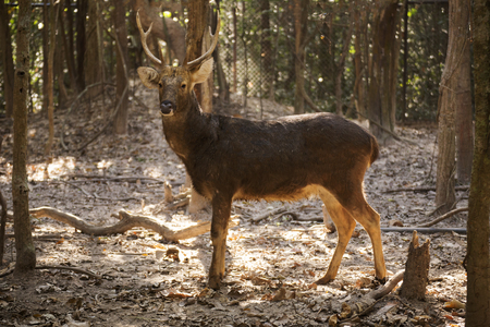 black tail deer: whitetail deer buck standing in Zoo of Thailand