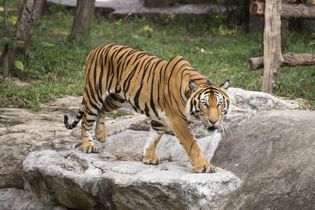 tiger: Bengal Tiger walking and looking something in zoo of Thailand