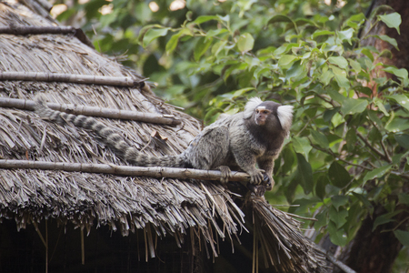 marmoset: Close up Common Marmoset on the roof