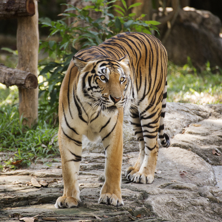 tigress: Bengal tiger walking in the zoo of Thailand