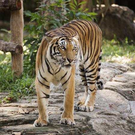 tigresa: Bengal tiger walking in the zoo of Thailand