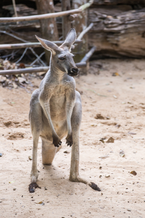 animals in the zoo: kangaroos standing on the ground in the zoo of Thailand