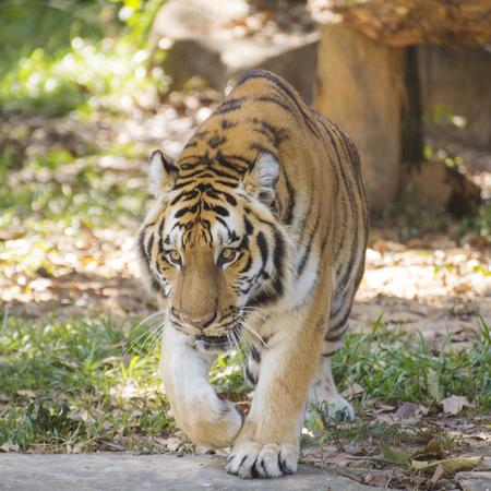 tigresa: Tigre de Bengala caminar en el parque zoológico de Tailandia Foto de archivo
