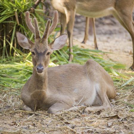 black tail deer: Deer resting in the zoo of Thailand