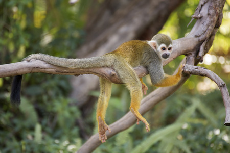 zoologico: mono ardilla en una rama en zool�gico de Tailandia