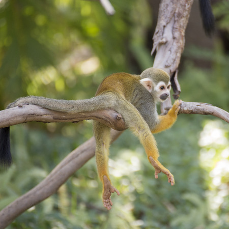 zoo animal: Squirrel monkey on a branch in zoo of Thailand