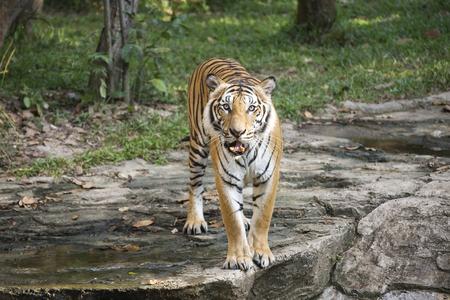 Bengal Tiger walking and looking something Stock Photo