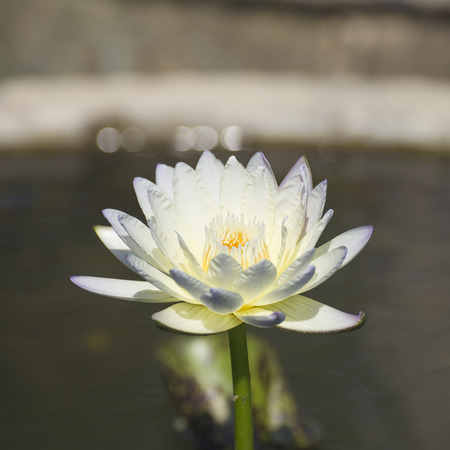 white lilly: White lilly or lotus on the pond Stock Photo