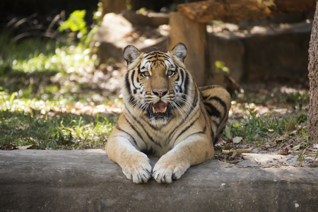 tigresa: Bengal tiger resting on the floor