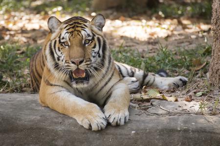 tigresa: Tigre de Bengala que descansa sobre el suelo Foto de archivo