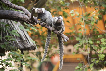 marmoset: Close up Two Common Marmoset on the tree Stock Photo