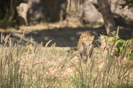 the leopard are hiding on the grass (selective focus) Stock Photo