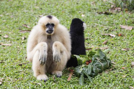 hominid: White Cheeked Gibbon or Lar Gibbon eating the fruit Stock Photo