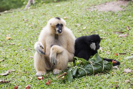 hominid: White and Black Cheeked Gibbon or Lar Gibbon eating the fruit