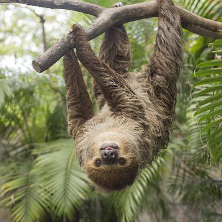 sloth: de Hoffmann joven dos dedos perezoso (Choloepus hoffmanni) en el árbol