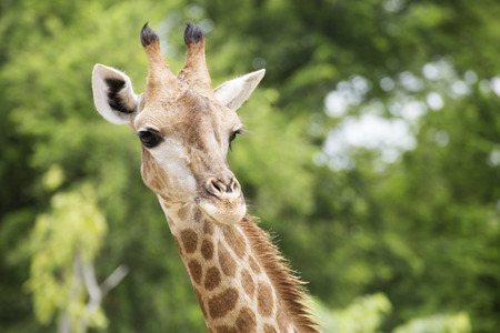closed up: Closed up head of giraffe in the afternoon Stock Photo