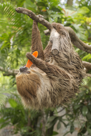 sloth: Young Hoffmanns two-toed sloth eating carrot Stock Photo