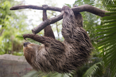 oso perezoso: Young Hoffmanns two-toed sloth (Choloepus hoffmanni) climbing on the tree