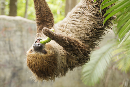 closed up: Closed up Young Hoffmanns two-toed sloth eating cucumber