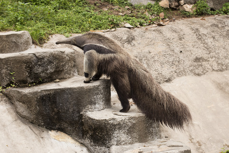 eater: giant ant eater walking to up stair Stock Photo