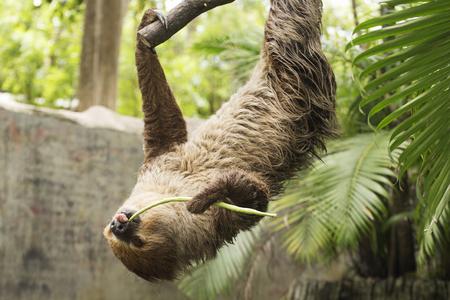 sloth: perezoso de dos dedos de Young Hoffmann en las lentejas que come el árbol