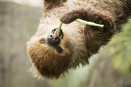 closed up: Closed up two-toed sloth on the tree eating lentils