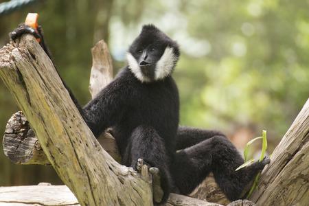 hominid: Black cheeked gibbon or Lar gibbon sitting on the tree Stock Photo