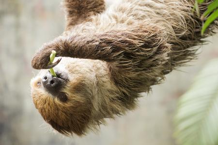 oso perezoso: perezoso de dos dedos de Young Hoffmann en las lentejas que come el árbol