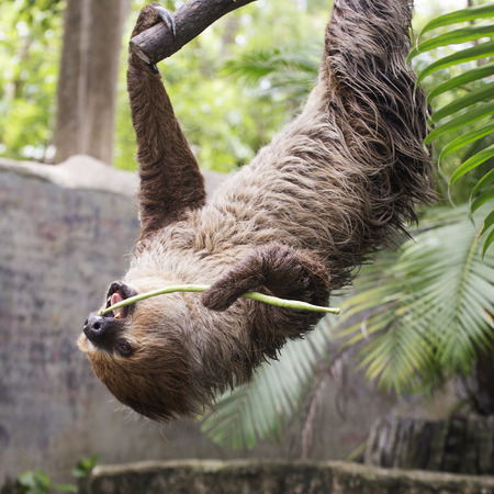 toed: Young Hoffmanns two-toed sloth on the tree eating lentils