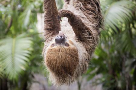 oso perezoso: choloepus mostrar la lengua de Young Hoffmann en el �rbol Foto de archivo