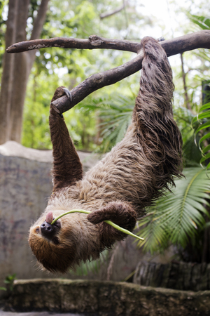 oso perezoso: Young Hoffmanns two-toed sloth on the tree eating lentils