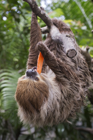 carrot tree: Young Hoffmanns two-toed sloth eating carrot Stock Photo