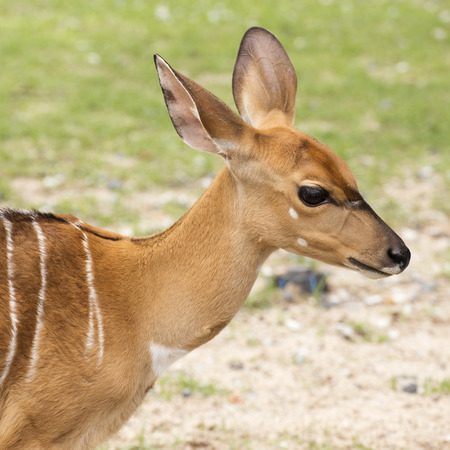 Closed up face of Female small deer