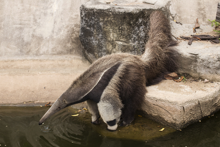 eater: giant ant eater drinking water on the ponds