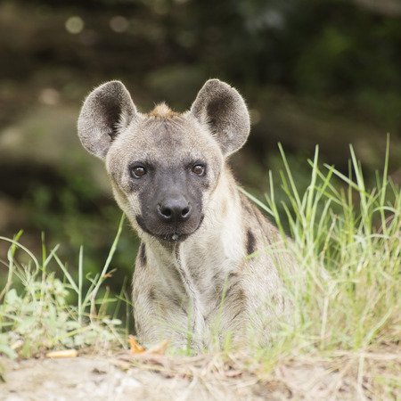 hyena: Spotted Hyena watching something in the park