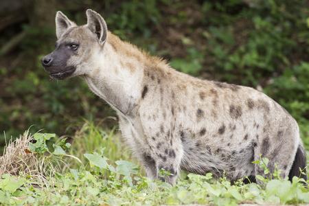 hienas: Hiena manchada viendo algo en el parque