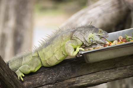 Green Iguana eating vegetable on the tree