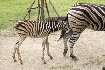 hoofed: Zebra feeding its foal in the park