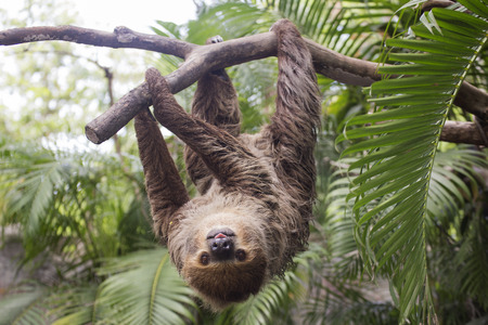 oso perezoso: Young Hoffmanns two-toed sloth (Choloepus hoffmanni) on the tree