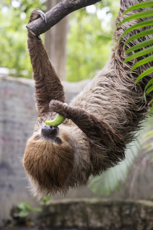 sloth: Young Hoffmanns two-toed sloth on the tree eating cucumber Stock Photo