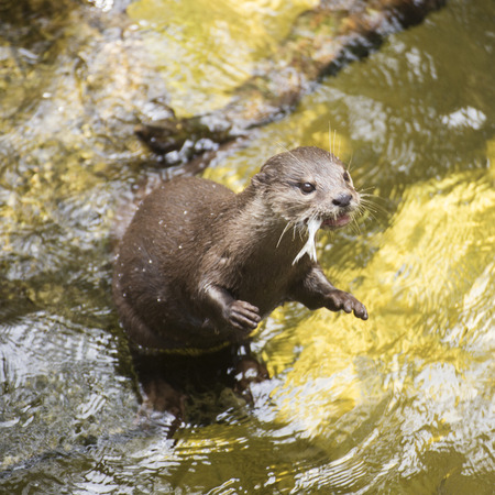 waited: otter standing and waited eating fish Stock Photo